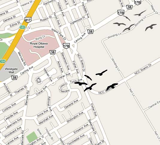Where to find Ottawa's murder of crows