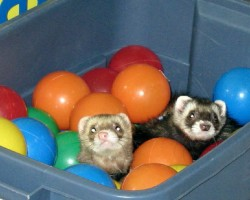 Ferrets in the playroom