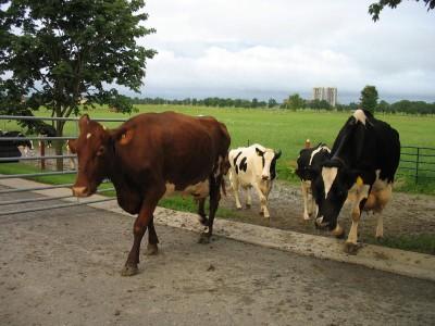 Cows come home at dawn!