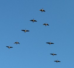 Canada Geese in V Formation