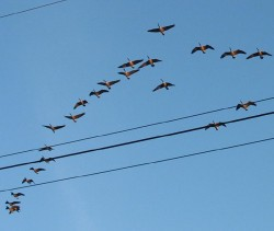 Canada Geese over my house
