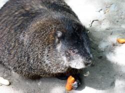 One Fat Groundhog