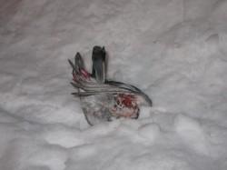 Dead pigeon #5