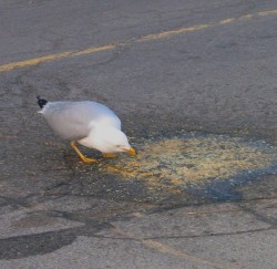 Seagull eating vomit