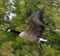 Canada Goose Taking Off