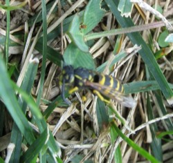 Wasp in safe grassy spot